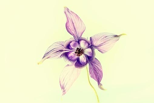 columbine flowers art - from sweden nature