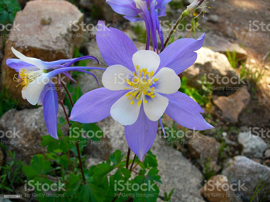 Columbine Flowers In Colorado Rockies Stock Photo More Pictures Of