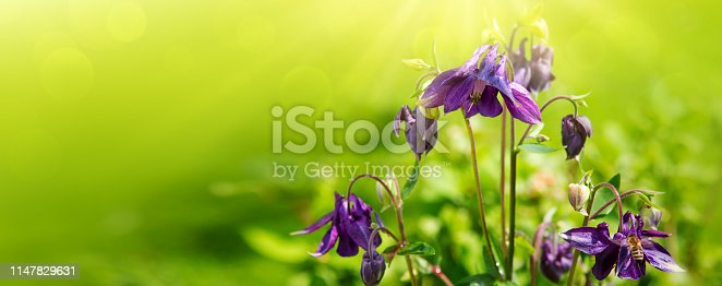 Purple Columbine wild flower close up. Columbine flowers isolated on green background.