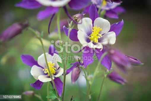 Purple and white columbine blossoms