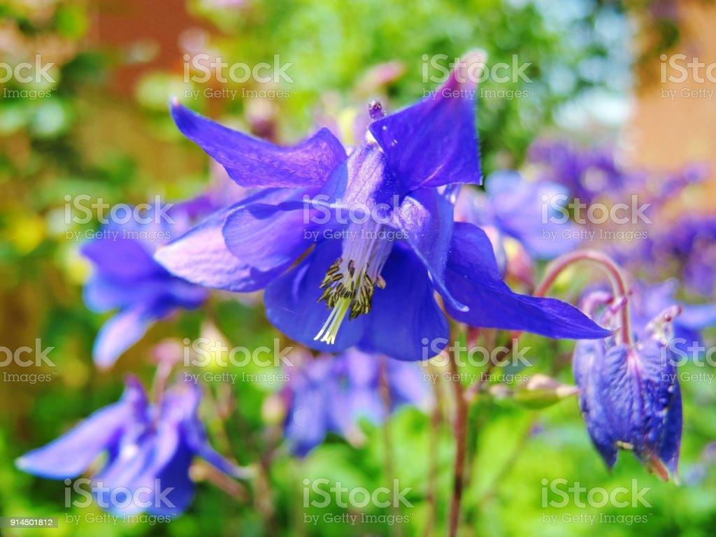 Columbine (Aquilegia vulgaris). – Foto
