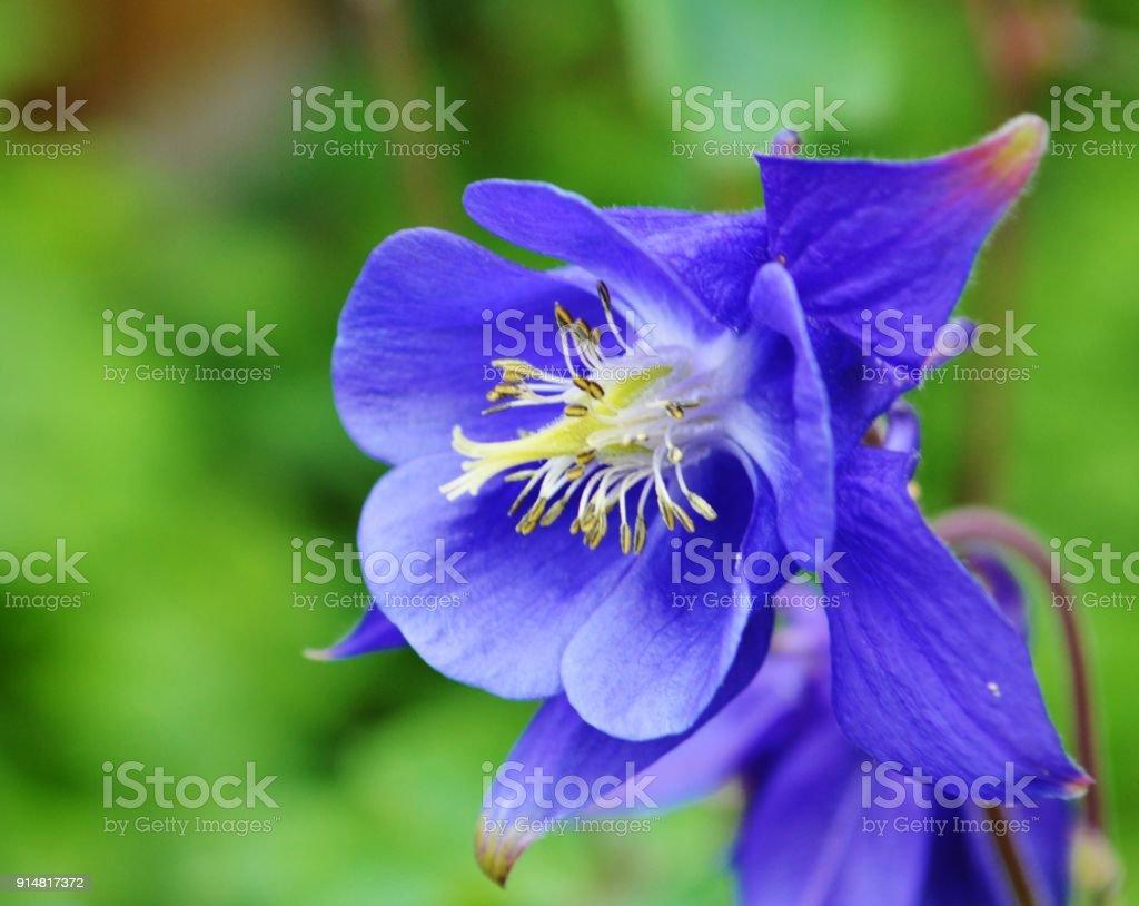 Columbine (Aquilegia vulgaris).