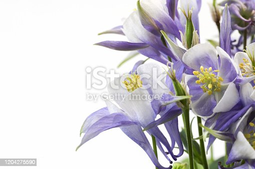 Pictured Columbines in a white background.