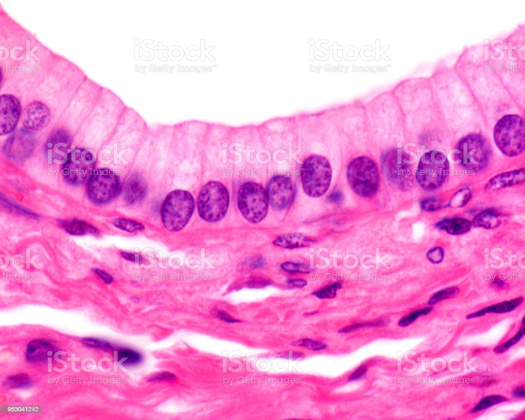 Columnar epithelium stock photo