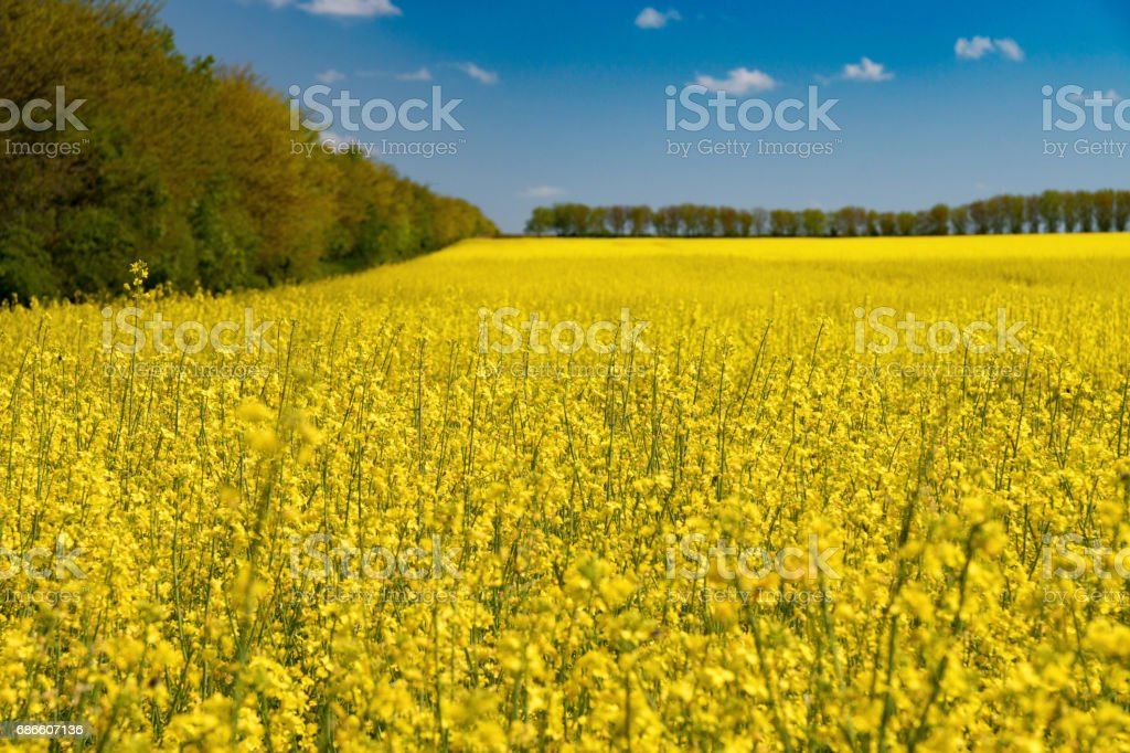 Colza field and blue sky royalty-free stock photo