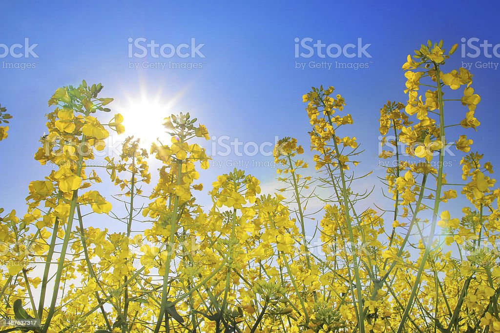 Colza field in spring royalty-free stock photo