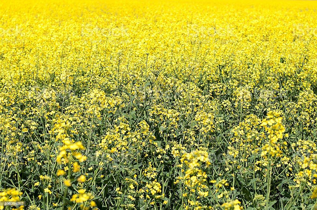 Colza field royalty-free stock photo