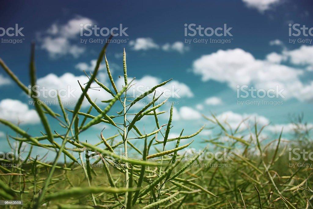 Óleo de Colza - Foto de stock de Agricultura royalty-free