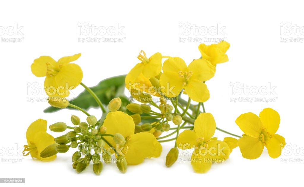 colza (Brassica napus ) stock photo