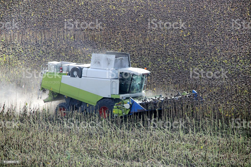 Combine field working. Harvester cutting ripe, dry sunflowers at autumn stock photo