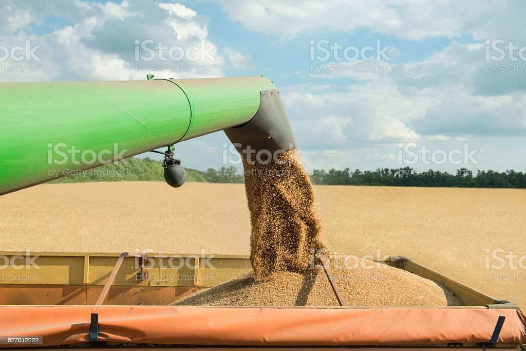 Combine harvester transferring freshly harvested wheat to trailer for transport stock photo