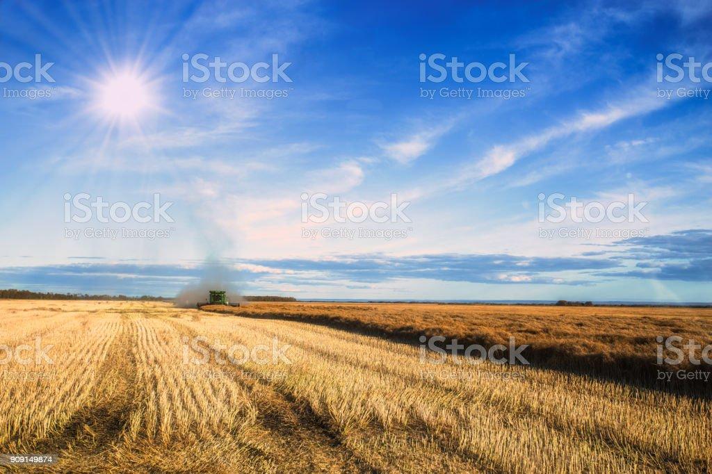 A combine harvesting canola stock photo
