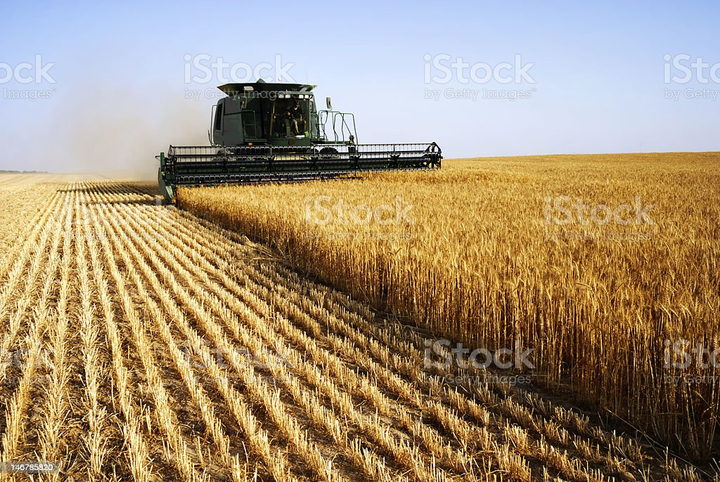 Combine harvesting in a field of golden wheat stock photo