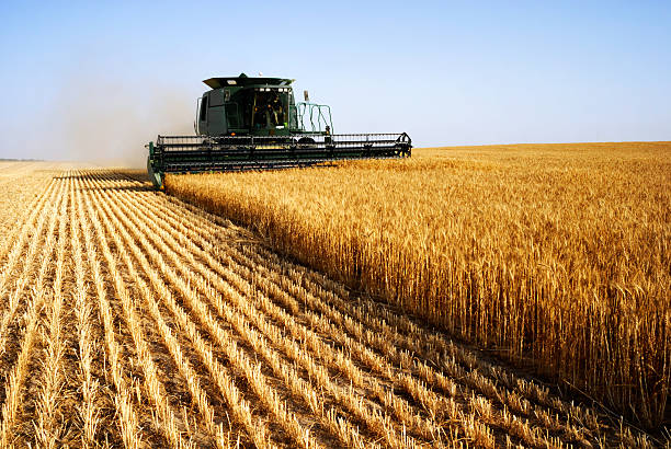 combine harvesting in a field of golden wheat - gewas stockfoto's en -beelden
