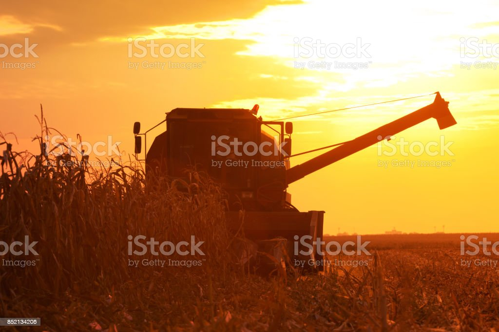 Combine Operator Harvesting Corn on the Field in Summer Evening stock photo
