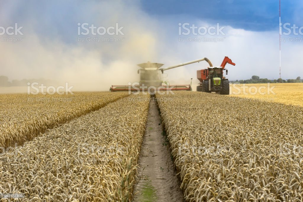 Combine working on the yellow field stock photo