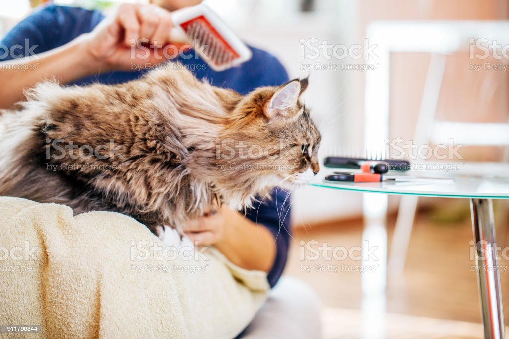Woman Combing Siberian Cat\'s Hair with Grooming Brush on her Lap