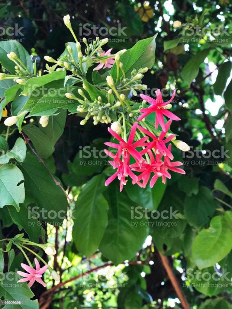 Combretum Indicum oder chinesische Geißblatt oder Rangoon Creeper Blumen. - Lizenzfrei Baumblüte Stock-Foto