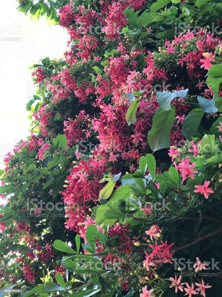 Combretum indicum eller kinesiska kaprifol eller Rangoon creeper blommor. - Royaltyfri Beskrivande färg Bildbanksbilder