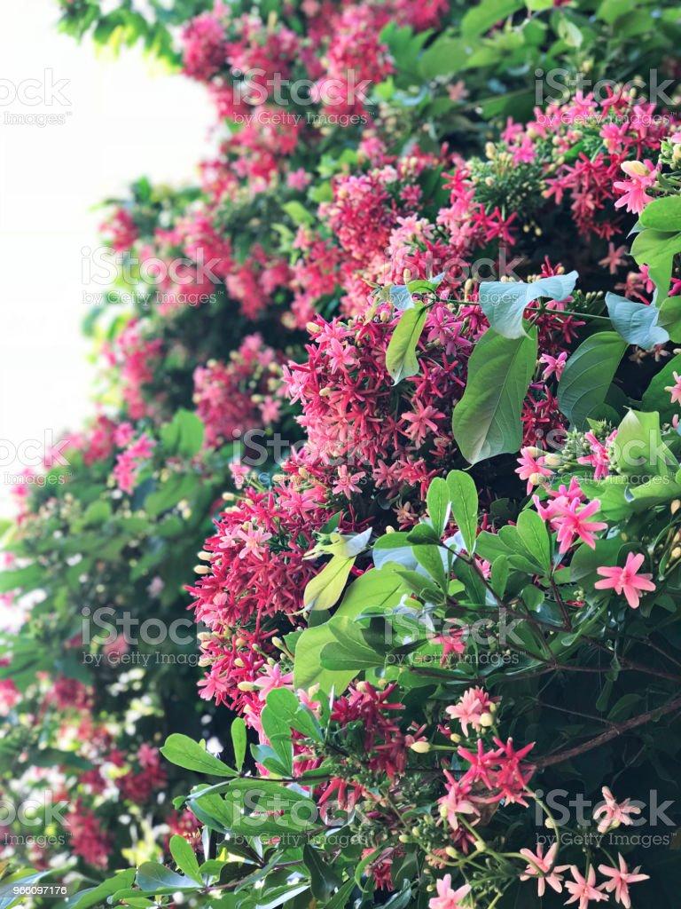 Combretum indicum of Chinese kamperfoelie of Rangoon klimplant bloemen. - Royalty-free Achtergrond - Thema Stockfoto