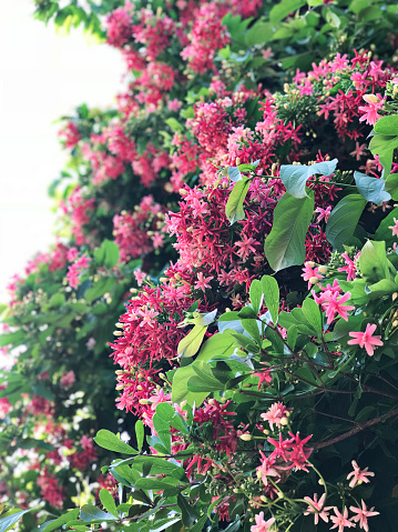 Combretum Indicum Of Chinese Kamperfoelie Of Rangoon Klimplant Bloemen Stockfoto en meer beelden van Achtergrond - Thema