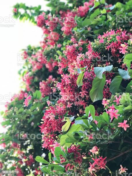 Combretum Indicum Eller Kinesiska Kaprifol Eller Rangoon Creeper Blommor-foton och fler bilder på Beskrivande färg