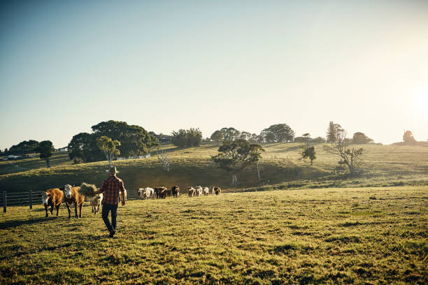 Come and get it! Shot of a young farmer tending to his herd of livestock in the field australia stock pictures, royalty-free photos & images