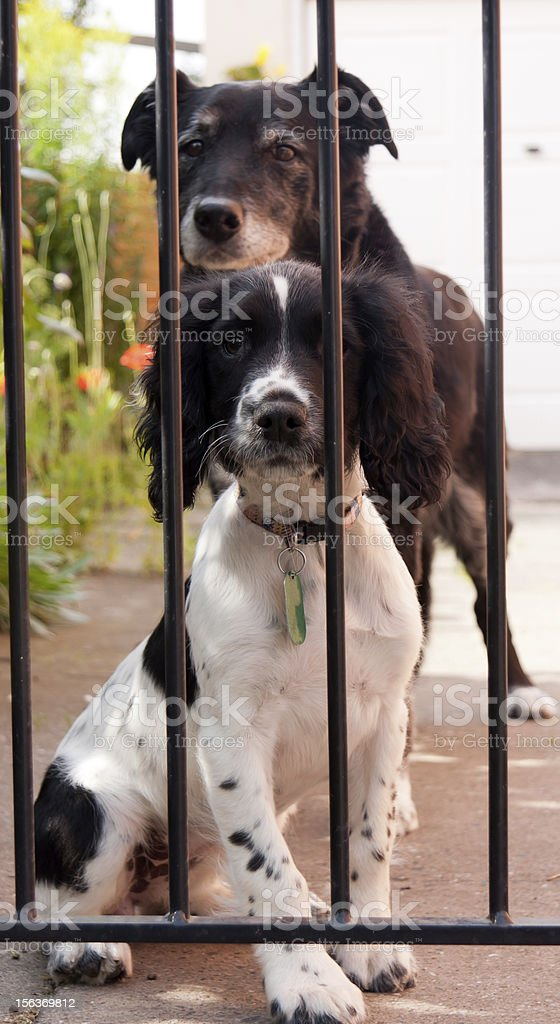 Come back soon!dogs waiting at gate for owners return stock photo