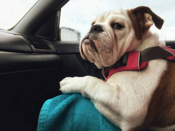 comfortable car passenger dog does not seem satisfied Very demanding passenger does not seem fully satisfied of the ride. Puppy, female, English Bulldog bulldog stock pictures, royalty-free photos & images