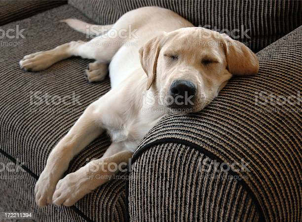 Comfortable puppy takes a morning nap picture id172211394?b=1&k=6&m=172211394&s=612x612&h=z2kdg erut8tu3ah6r5hgsf05rfvujgw7drwgevvkpc=