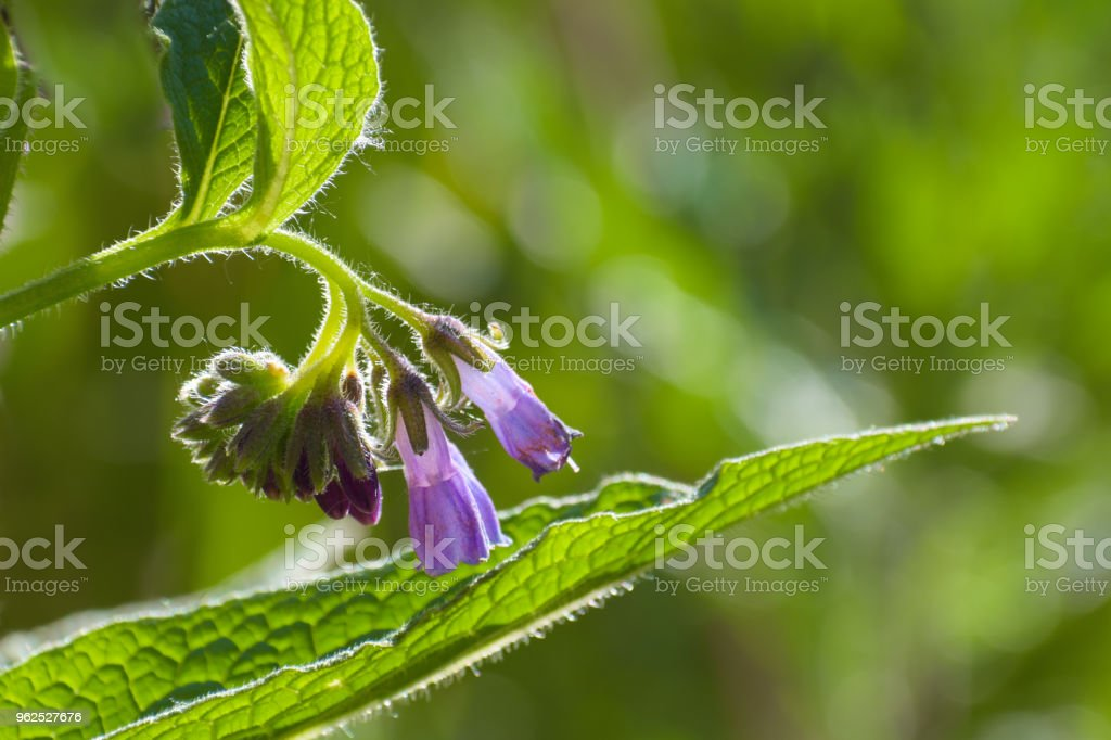 comfrey blossom (Symphytum officinale)  purple blue flowers on a green blurry background with copy space, the plant has been used in folk medicine - Royalty-free Backgrounds Stock Photo