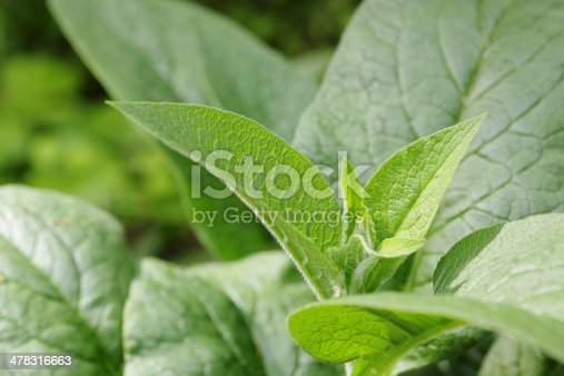 The fresh green leaves of the comfrey plant.