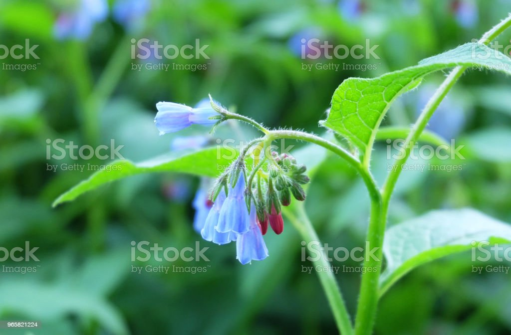 Comfrey - Royalty-free Backgrounds Stock Photo