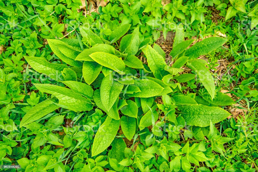 comfrey, young fresh leaves in spring - Royalty-free Alternative Medicine Stock Photo