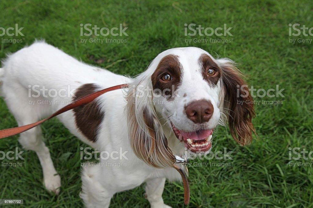 Comic looking Dog royalty-free stock photo