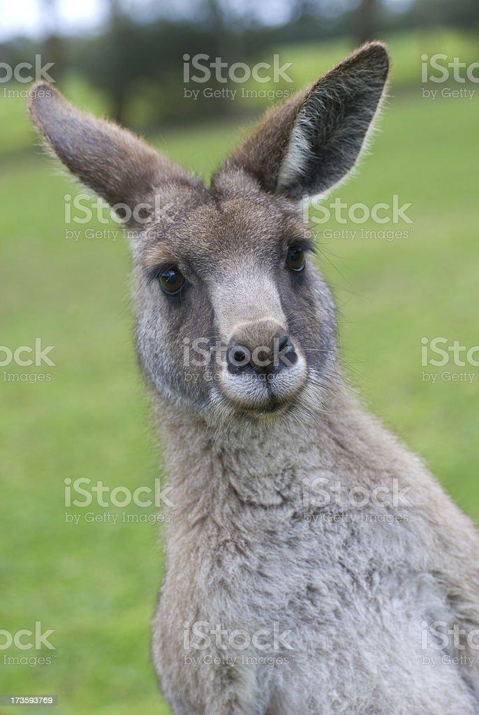 Comical Kangaroo royalty-free stock photo