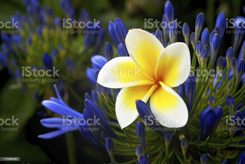 coming into bloom royalty-free stock photo