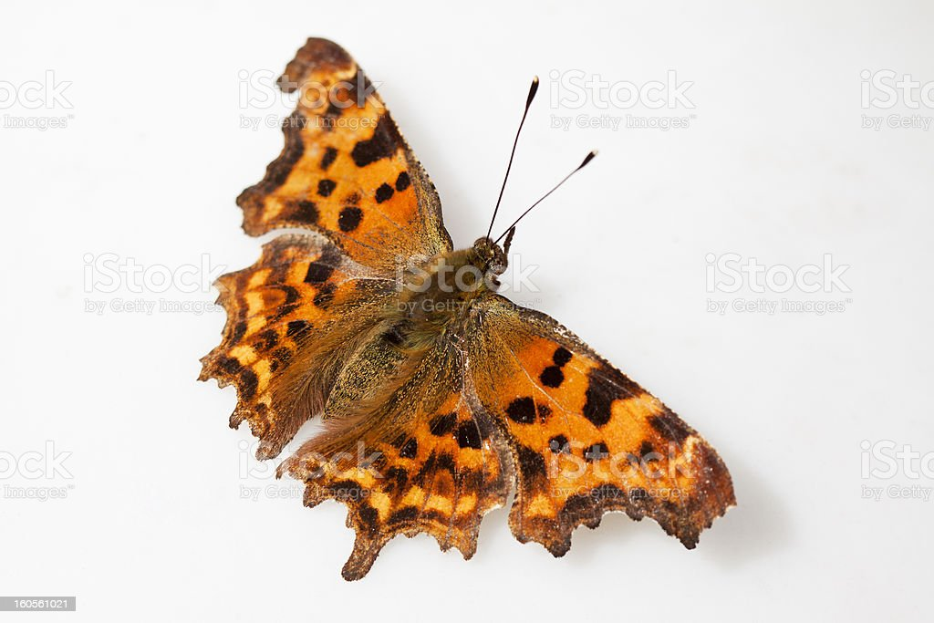 comma butterfly royalty-free stock photo