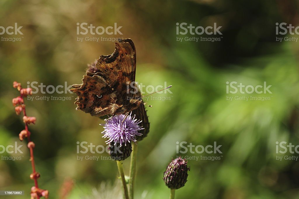 Comma Butterfly, U.K. royalty-free stock photo