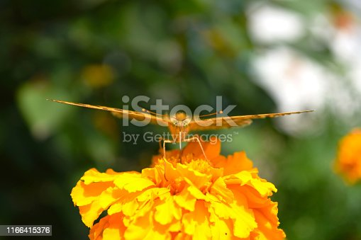 A comma butterfly with black spots of red and orange tones, a close-up front view sits on a Tagetes flower.