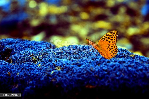 A comma butterfly with black spots of red and orange tones, a close-up sitting on a background of repainted forest moss in rich blue tones.