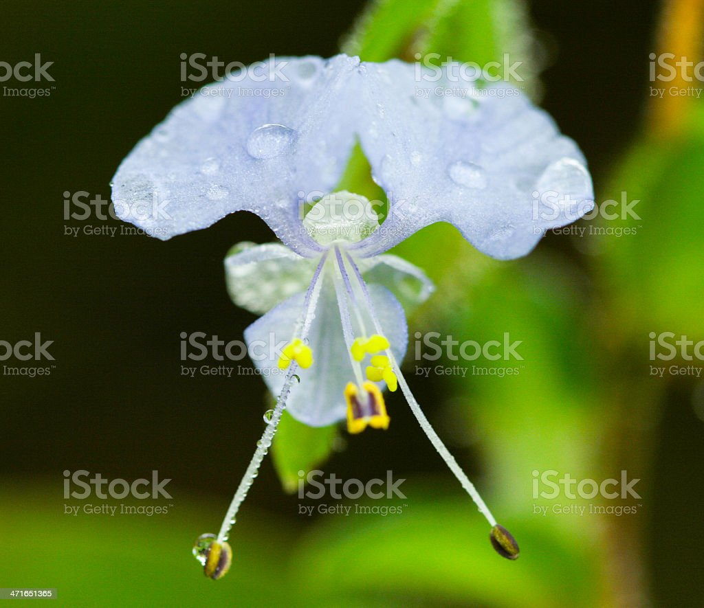 Commelina Benghalenis from rainforest royalty-free stock photo