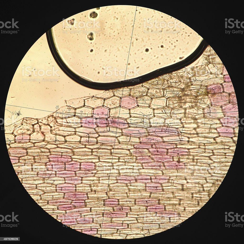 Commelinaceae cell  Microscopic Photos stock photo