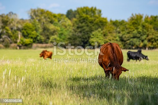 Red commercial beef cow in the foreground to the right with other cows grazing out of focus in the background and area for copy to the left.