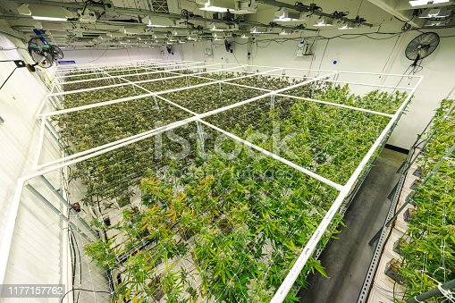 istock Commercial Cannabis Business Warehouse with Rows of Marijuana Plants Growing Indoor 1177157762