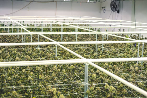Commercial Cannabis Factory Grow Operation with Full Grown Marijuana Plants stock photo