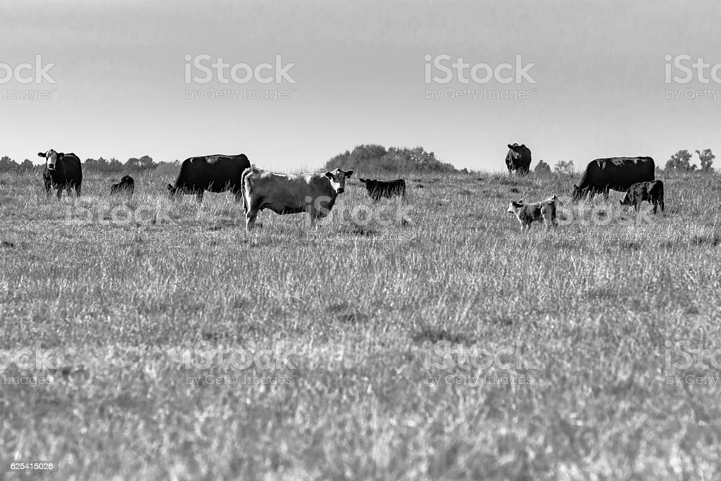 Commercial cows in pasture BW stock photo