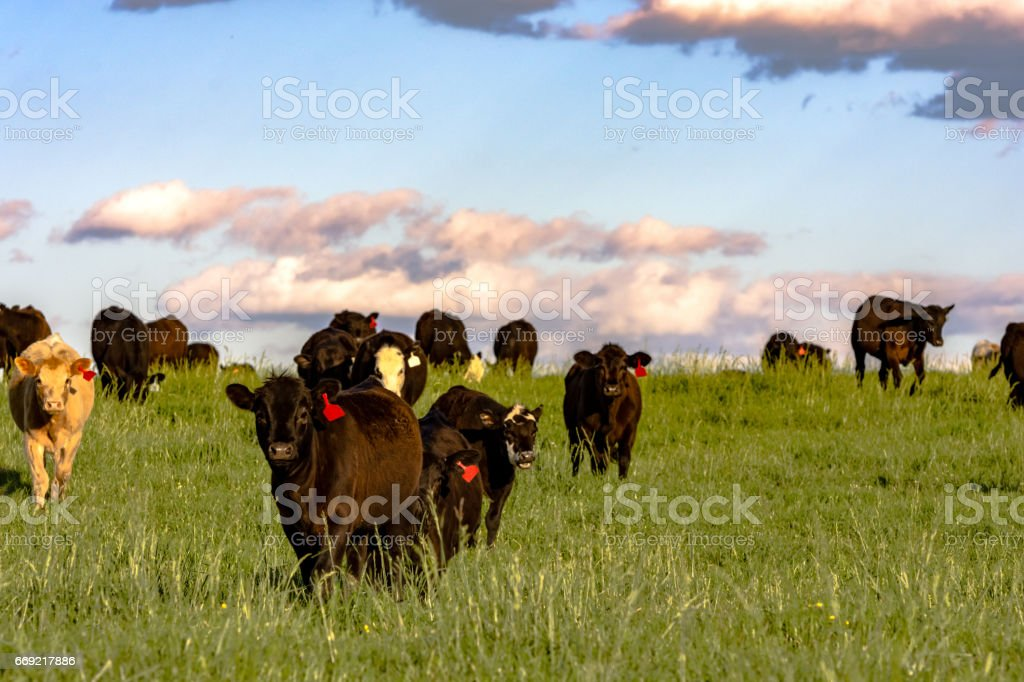 Commercial heifers in lush pasture at sunset stock photo