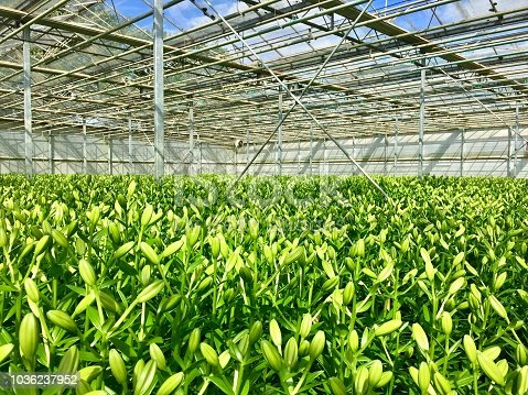Lily flowers being grown in a large commercial glasshouse in Lincolnshire, United Kingdom. The flower buds are the exact length required by the  supermarket end user and will be harvested within 24 hours