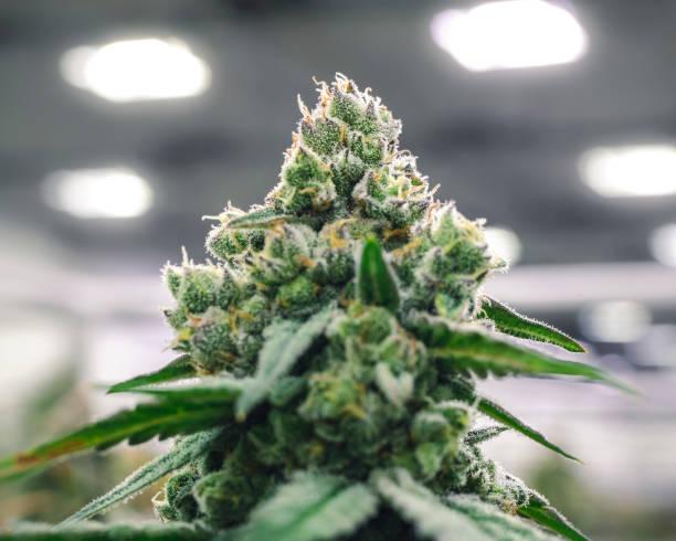 Commercial Marijuana Industry Bud on Plant at Grow Operation Warehouse stock photo